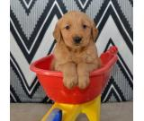Three Golden Retriever puppies for sale