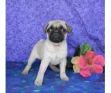Cute Fawn male and female Pug puppies for sale