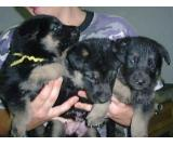 best quality german shepherd puppies available now