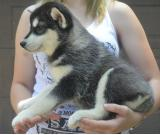 Males and females siberian husky Puppies available.