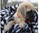 cute and healthy wonderful english bulldog puppies ready for adoption