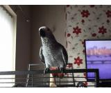nice baby african grey parrot for adoption