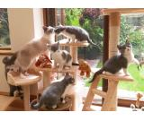 Most limited British Shorthair Kittens Sold Waiting List Avail!