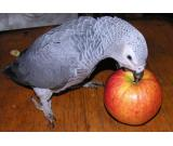 Pair of African Grey Parrots for Sale