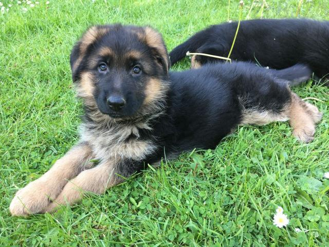 Adorable German Shepherd Puppies Ready Now Free Classifieds Free