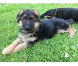 Adorable German Shepherd Puppies Ready Now