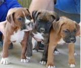 Quality Boxer Puppies for sale
