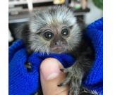 Adorable Marmoset monkeys for Adoption
