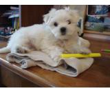 House Raised White Maltese Puppies For Sale