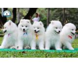 6 Beautiful Healthy Samoyed Puppies
