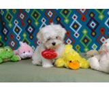 Healthy Maltese puppies Boys & Girls for sale