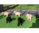 Loveable Labradors for sale