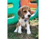 beautifull beagle ready