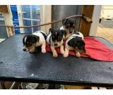 Jack Russell Terrier-puppy's