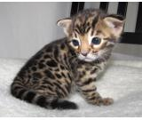 Adorable Bengal Kitten for Adoption - 9 weeks old
