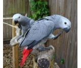 male and female congo african grey parots available
