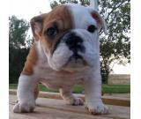 Kc Beautifull English Bulldogs Ready