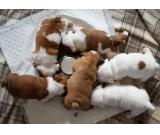 Male and Female English Bulldogs puppies for sale