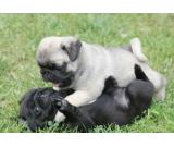 MOPS PUPPIES