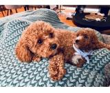Cute cavoodle puppies for sale