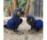 Buy Hyacinth Macaw,Scarlet Macaw and African Grey Parrots For sale