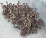 Available Ostrich Chicks,Ayam Cemani For Sale
