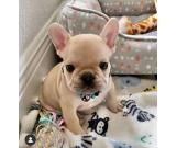 Charming French Bulldog Puppies For Sale