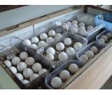 Fertilized Parrots Eggs for sale