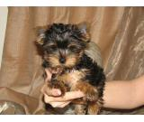 Health Yorkshire terrier Puppies
