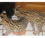 Egyptian Mau, F1-F5 Savannahs and African Serval kittens for sale