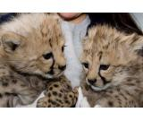 Breeds : Cheetahs, F1 savannah and Serval kittens