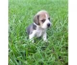 Lovely Beagle Puppy For Adoption