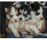 Fantastic looking siberian husky puppies