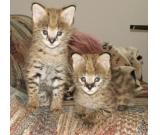 Fantastic F1 Savannah kittens .
