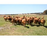 Organic Continental Beef Cattle