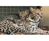 Available F2 Savannah Cat F3 Savannah F4 Savannah Male and Female