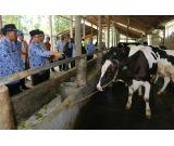 Holstein-Friesian cow,goats and other livestock