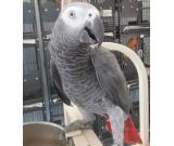 Tamed African Grey parrots and eggs for sale