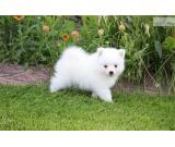 Beautiful White Mini American Eskimo Puppies for sale at $9.000 each.
