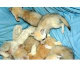 TICA REGISTERED,SAVANNAH KITTEN F1,F2, OCELOT AND FENNEC FOX