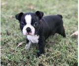 Boston Terrier for adoption
