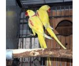 Yellow Alexandrine Birds For Sale