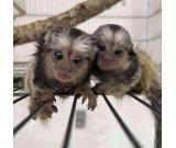 Marmoset monkets available now (775) 464-1360