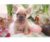 Beautiful male and female well trained French Bulldog puppies available +33758734147