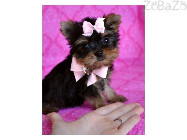 Teacup Yorkie Puppy For Free Adoption Free Classifieds Free Ads