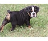 well traien english bulldog for sale
