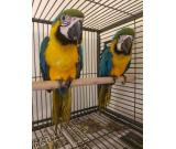 Parrots And Fertile Tested Parrot Eggs for Sale