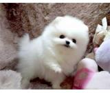 Cute Teacup Pomeranian Puppies for sale.