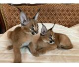 Caracal male and female kitten available for sale