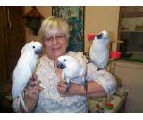 SUPER TAMED COCKATOOS PARROT